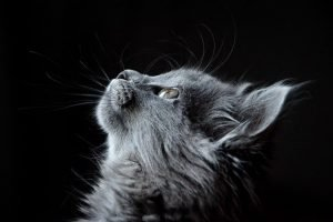 the most popular NYC boroughs for cat owners - a grey cat looking up