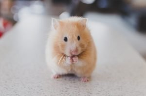 Hamster looking at the camera.