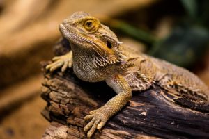 If your exotic pet is a bearded dragon, don't forget to bring a thermometer for the move.