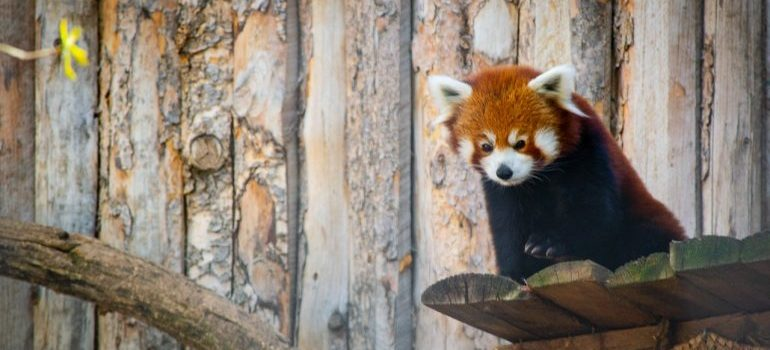 Red panda on a brown wooden surface